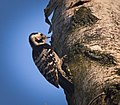 Lesser spotted woodpecker (49726431141).jpg