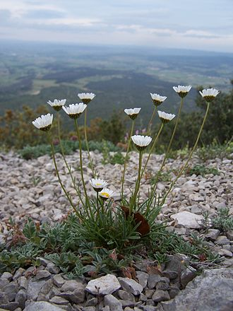 Leucanthemum - Image: Leucanthemum graminifolium 1