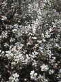 Leucophyllum ambiguum 2c.JPG