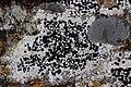 Lichen (30365690998).jpg