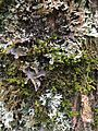 Lichens on bark.jpg