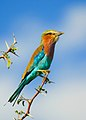 Lilac-breasted Roller on Acacia tree in Botswana series - image 2 of 3.jpg