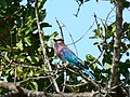 Lilac breasted roller (394303770).jpg