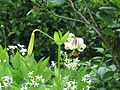 Lilium cf. ledebourei - Flickr - peganum (3).jpg