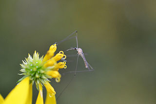 <i>Limonia communis</i> Species of fly