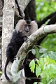 Lion Tailed Macaque (26784955341).jpg