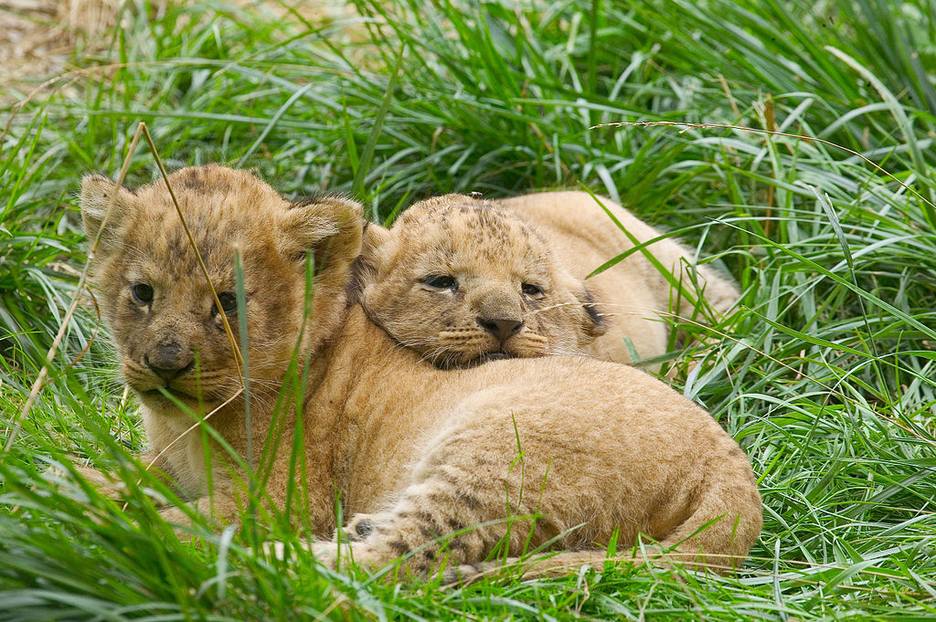 """Lion cubs Amneville Zoo"" by MC84 OOZ57 - Own work. Licensed under CC BY-SA 4.0 via Wikimedia Commons - https://commons.wikimedia.org/wiki/File:Lion_cubs_Amneville_Zoo.jpg#/media/File:Lion_cubs_Amneville_Zoo.jpg"
