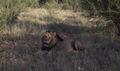 Lion en Afrique du Sud 2.jpg