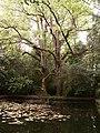 Liriodendros (Tulipero de Virginia) (Árbores senlleiras de Galicia) - panoramio.jpg