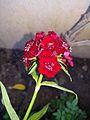 Little red flower.jpg