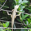 Lizard from Madayipara DSCN2649.jpg