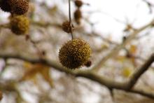 Plane Tree seeds