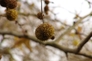 Platanus × acerifolia - London plane seed ball
