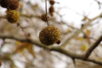Platanus × acerifolia - London plane seed ball
