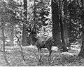 Lone deer in forest (69be1de9efca4c4e9d7423ef5a83e82f).jpg