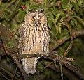 Long-eared owl (46210892284).jpg