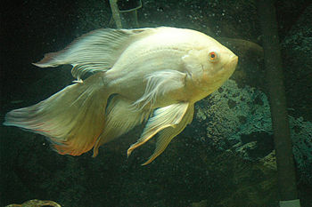 Photo of a leucistic Long Finned Oscar (Astron...