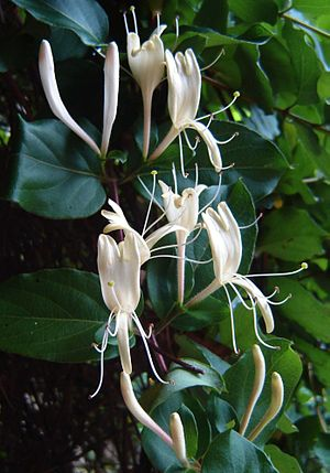 Lonicera japonica - Image: Lonicera japonica