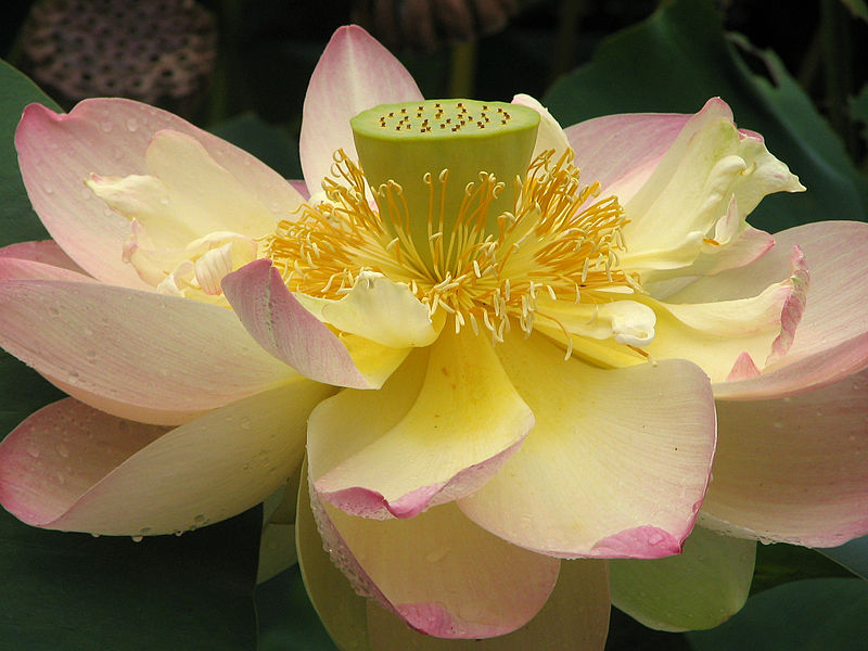 File:Lotus Nelumbo nucifera Flower Close 2048px.jpg