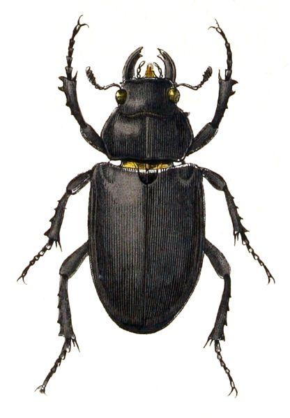 File:Lucanus.cervus.female.-.calwer.22.21.jpg