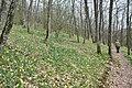Luxemb Lellingen Narcissus population.jpg