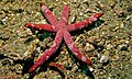 Luzon Sea Star (Echinaster luzonicus) with Comb Jellies (Coeloplana astericola) (red and white patches) - Tanjung Kubur, Lembeh Strait, Sulawesi, Indonesia.jpg