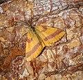 Lythria cruentaria (35981136633).jpg
