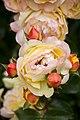 Mañana último día para votar tu rosa favorita en el Concurso Popular Rosa de Madrid 06.jpg