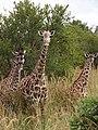 Maasai Giraffes - Mikumi National Park - Tanzania - 01 (8893079998).jpg