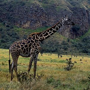 Massai-Giraffe in Hell's Gate National Park, Kenia