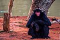 Macaco-Aranha (Red-Faced Spider Monkey).jpg