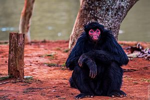 Red-faced spider monkey - Ateles paniscus