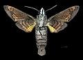 Macroglossum mitchellii imperator MHNT CUT 2010 0 203 Chiang Mai Thailand male ventral.jpg