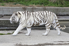 white tiger - wikipedia