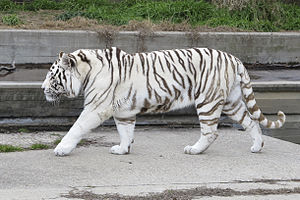 White tiger - A captive white Bengal tiger at the Madrid Zoo