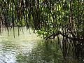 Maduganga Mangrove1.jpg