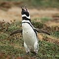 Magellanic Penguin at Otway Sound, Chile (5521312606).jpg