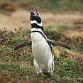 Magellanic Penguin at Otway Sound, Chile (5521312606).jpg