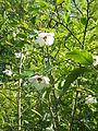 Magnolia sieboldii01.jpg