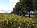 Maize crop, near Trebarrow - geograph.org.uk - 1005038.jpg