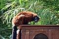 Maki vari roux (Zoo-Amiens)b.JPG