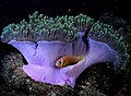 Maldive anemonefish with magnificent sea anemone - panoramio - liba44 (13).jpg