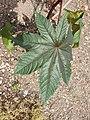 Malpighiales - Ricinus communis - 6.jpg