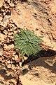 Malta - Qrendi - Hagar Qim and Mnajdra Archaeological Park - Plantago serraria 01 ies.jpg