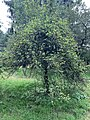 Malus brevipes (Rehder) Rehder cultivated in Royal Botanic Gardens, Kew. Whole tree.jpg