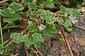 Malva-neglecta-foliage.jpg