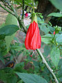 Malvaviscus arboreus (2).JPG