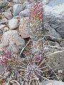 Mammillaria poselgeri (5770751876).jpg