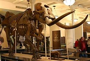 Skelett eines Amerikanischen Mastodons