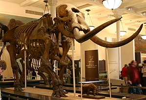 "Mastodon - Mounted M. americanum skeleton (the ""Warren mastodon""), AMNH"